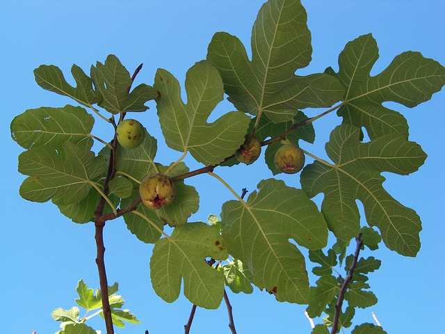 autumn-fig-fig-tree-fruit-leaves